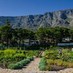 The Oranjezicht City Farm in Cape Town is a non-profit community farm in the middle of the city, under the shadow of Table Mountain, that is open to the public 6 days a week. there's a market every Saturday from 9am – 2pm. on Wednesday evenings they host Guided Harvests so you can go pick your own veggies.