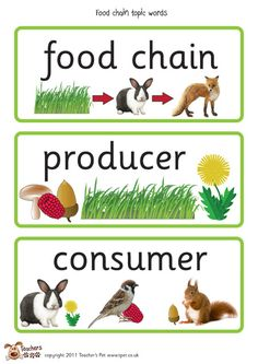 Here's a set of word wall cards for use when studying food chains. First Grade Science, Primary Science, Science Classroom, Teaching Science, Science Education, Science Resources, Science Lessons, Science Activities, Life Science
