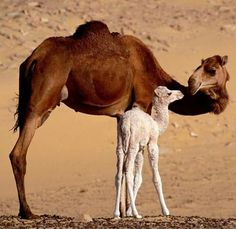 Watch these 21 Glorious Moms Of The Animal Kingdom that prove a mother's love has no boundaries and a mom will forever take care of her young Mother And Baby Animals, Cute Baby Animals, Animal Babies, Beautiful Creatures, Animals Beautiful, Beautiful Things, Baby Camel, Desert Animals, Wild Animals