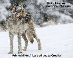 The WDFW needs to know that the public won't stand for senseless wolf killings. Join us in sending a message to support proper wolf management right now! Wolf Wallpaper, Animal Wallpaper, Winter Wallpaper, Wallpaper Wallpapers, Wolf Spirit, Spirit Animal, Beautiful Creatures, Animals Beautiful, Magical Creatures