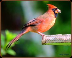 A male Red Cardinal happily chomping on sunflower seeds.