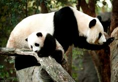 Giant pandas are well-known for their distinct black-and-white coloration. Learn more with these fascinating giant panda facts, including diet and conservation status. Panda Facts, Panda Day, Memphis Zoo, San Diego Zoo, Black And White, White Bears, Cute, Zoos, Animals
