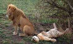 leoa-satisfeita