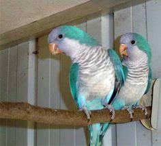 Blue Quakers