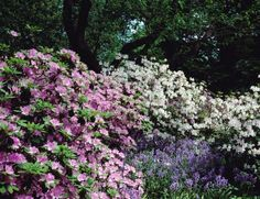 Azaleas and bluebells in bloom for May at Winterthur Museum, Garden and Library