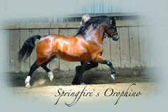 Welsh Mountain Pony (section A) stallion Springfire's Orophino
