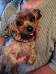 nancey is an adoptable Yorkshire Terrier Yorkie Dog in Dallas, TX. Nancey came from a breeder and is just the sweetest little thing around. Now that she can run around she loves attention and petting,...