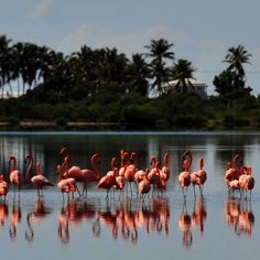 Anegada...flamingos live in the salt marsh in the middle of the island.  I need pictures of this on my own camera!