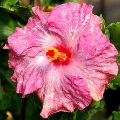 Tropical Hibiscus 'Sprinkles'