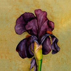 Purple Iris, watercolor painting