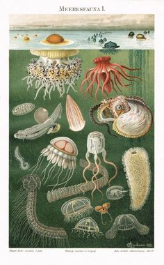 Chromo Lithograph with Marine Fauna 1898. Artist signed: C. Merculiano 1898