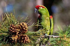 Thick-billed Parrot (Rhynchopsitta pachyrhyncha) / Толстоклювый ара