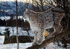 800x600 Lynx Snow Wallpaper