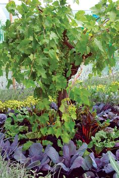 Perennials ***Perennial Veggies - Combine permaculture gardening techniques and edible landscaping ingenuity in your garden by growing perennial vegetables. Forest Garden, Edible Garden, Vegetable Garden, Garden Plants, Permaculture Design, Permaculture Garden, Perennial Vegetables, Growing Vegetables, Tall Plants