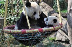 Panda boy Fu Bao and Mom Yang Yang, 23. April 2014, Zoo Vienna