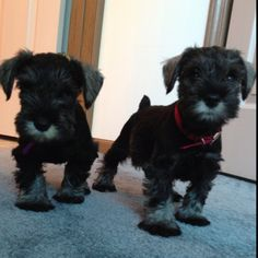 Nothing cuter than Miniature Schnauzer puppies.  Who could resist?