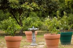 Creating a Citrus Garden & Citrus Tree Care The process of growing a citrus garden is highly dependent on the weather conditions in that particular area. The perfect climate in which to grow citrus trees will be mild winters and warm to hot summers. In order for citrus gardens to survive in colder areas, make(...)