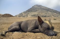 adorable Peruvian hairless dog