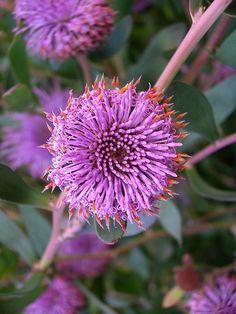 Isopogon cuneatus. Purple flowers