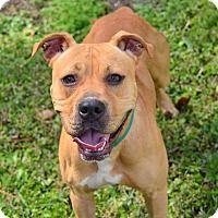 Adopt A Pet :: 10309675 DARBY - Brooksville, FL