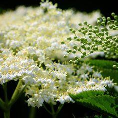 Blomstrende Hyld ved Ebberup  #tv2vejret #fyn #nature #visitdenmark #naturelovers #natur #denmark #danmark #dänemark #landscape #nofilter #assens #mitassens #sonnenshein #opdagdanmark #fynerfin #assensnatur #vielskernaturen #visitassens #instapic #picoftheday #june #hyldeblomst