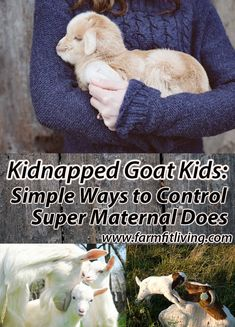 One thing you might not think about as a goat breeder is kidnapped goat kids. Here's some tips to keep this from happening during your goat kidding season. Keeping Goats, Raising Goats, Goat Pen, Goat Care, Boer Goats, Goat Farming, Chickens Backyard, Survival Gear, Livestock