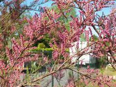 tamarix tetrandra - Google Search Google Search, Plants, Plant, Planting, Planets