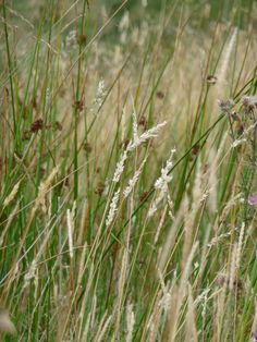 Moorland Grasses, The Peak District