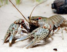 Gray-Speckled Crayfish (Orconectes palmeri) Missouri native This crayfish is… Shrimp And Lobster, Live Lobster, Carapace, Water Animals, Marine Fish, Lobsters, Animal Species, Colorful Fish, Freshwater Fish