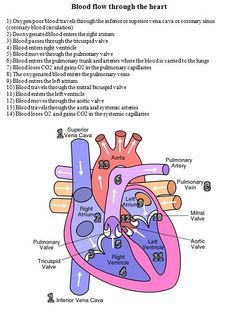 blood flow through the heart diagram and written steps