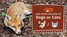 Are Foxes Related to Dogs or Cats? The Absolute Answer Fox Information, Fox Video, Foxes, Cats, Videos, Fun, Animals, Gatos, Fin Fun