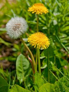 Common lawn weeds fall into two types: low-growing wild flowers and undesirable coarse grasses or grasslike plants. Identifying the types of weeds growing in your yard is the first step to containing the problem. Common Lawn Weeds, Weeds In Lawn, Get Rid Of Dandelions, Types Of Lawn, Weed Types, Grass Weeds, Lawn Care Tips, Weed Pictures, Weed Killer