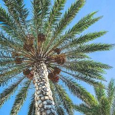 Green foliage of a windmill palm tree and blue sky Palm Tree Leaves, Palm Trees, Windmill, Coastal Decor, Amazing Nature, Top Artists, Cactus Plants, Driftwood, Sell Your Art