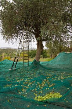 Harvesting Olives in Sicily, copyright Jann Huizenga. Reminds me of my time in Spain--I LOVED harvesting olives! Olives, Olive Harvest, Olive Gardens, Olive Tree, Fruit Trees, Country Life, Places To See, Beautiful Places, Scenery