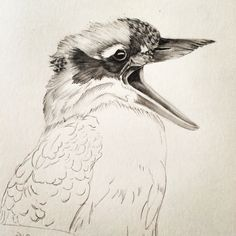 Starting a new kookaburra