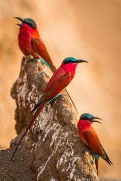 Carmine Bee-eaters by Will Burrard-Lucas
