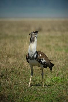 The Great Bustard bird (Otis tarda) is in the bustard family. The male of this huge bird is possibly the heaviest living flying animal.  In the breeding season, the male has long white neck bristles, which measure up to 12–15 cm (4.7–5.9 in) in length, continually growing from the third to the sixth year of life.