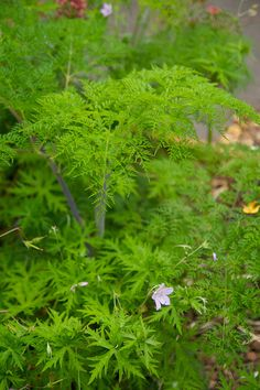 Selinum wallichianum - with 'Queen Ann lace' flowers, purple stems and delicate green leaves. What more can you wish for?