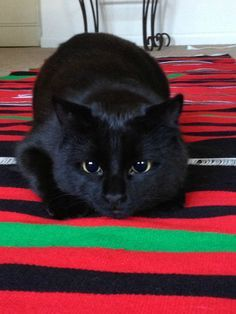 I want a black cat Pretty Cats, Beautiful Cats, Animals Beautiful, Cute Cats And Kittens, Cool Cats, Baby Animals, Cute Animals, Hamster, Crazy Cats