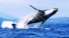 by National Geographic Documentary · [Discovery Animals Documentary] Blue Whale biggest animal on earth Wild .