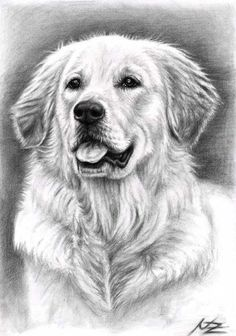 Dog drawing - golden retriever spence by nicole zeug. Pencil Art Drawings, Animal Drawings, Drawing Art, Chien Golden Retriever, Golden Retrievers, Pet Dogs, Pets, Watercolor Canvas, Dog Paintings