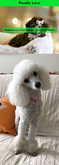 Discover more about Poodles #poodlelove Just click on the link to get more information...