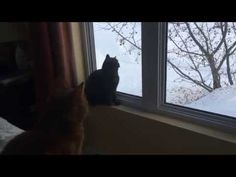 Funny cats meowing at birds (cedar waxwings) through the window -  #bird #birds  #birding #animale #bird_watchers_daily #animal #birdwatching #pets #nature_seekers #birdlovers I honestly have no idea what to call that noise they make (it's kind of like a click), but they have always alluded my attempts to record the sound. Now I caught them!!!... - #Birds