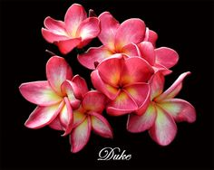 plumeria hibiscus tattoo