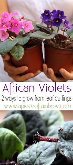 How to grow African Violet easily from leaf cuttings! Two simple yet fail proof propagation methods to jump start your indoor plants collection! - A Piece Of Rainbow