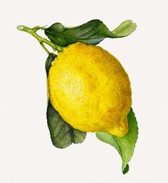 Lemon Botanical Illustration