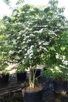 Best Indoor Garden Ideas for 2020 - Modern Backyard Trees, Backyard Plants, Backyard Landscaping, Trees For Front Yard, Front Yard Plants, Small Garden Trees Uk, Kousa Dogwood Tree, Baumgarten, Shade Trees