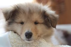 Rough collie puppy Poppy!