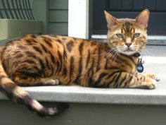 """The Bengal is a hybrid breed of domestic cat. Bengals result from crossing a domestic feline with an Asian leopard cat, Prionailurus bengalensis bengalensis. It has a desirable """"wild"""" appearance with large spots, rosettes, a light/white belly, and a body structure reminiscent of the Asian leopard cat."""