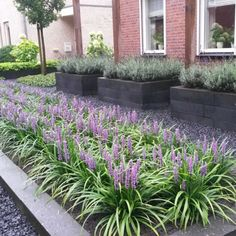 We zien ze steeds vaker in tuinen en terecht. Outdoor Gardens, Front Yard Landscaping, Liriope Muscari, Growing Gardens, Balcony Plants, Cottage Garden, Plants, Outdoor Plants, Front Garden Design